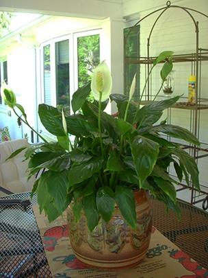 Gardenatoz Grow 553 Peace Lily Care Garden A To Z