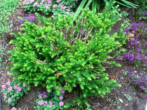 Gardenatoz Yews Shrug Off Pruning Rules Garden A To Z
