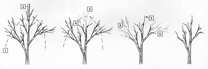 Deciduous Tree Or Shrub