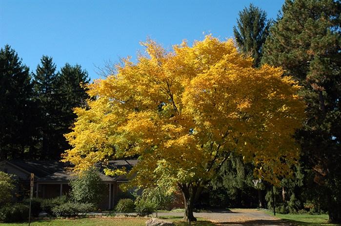 Gardenatoz Yellowwood Garden A To Z