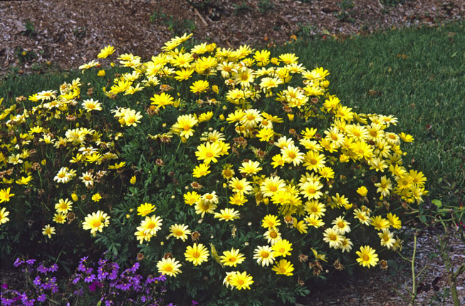 Gardenatoz perennials that arent garden a to z perennial confusion puts the argh in argyranthemum these plants bloom all summer just keep those spent daisies deadheaded yet the tag says mightylinksfo