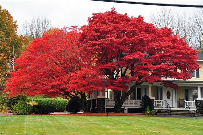Gardenatoz Japanese Maples Garden A To Z