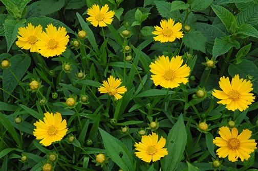 GardenAtoZ - Coreopsis tickseed - Garden A to Z