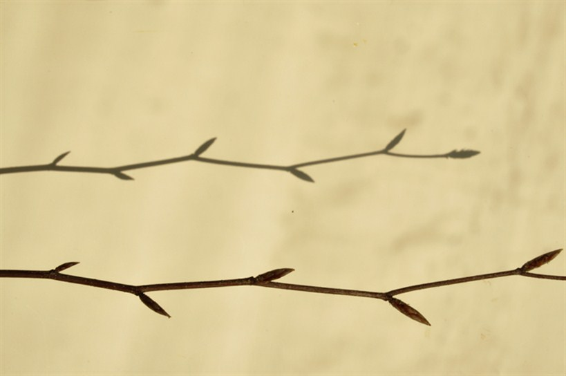 American Beech Twig