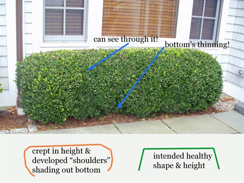 When do you trim a box hedge