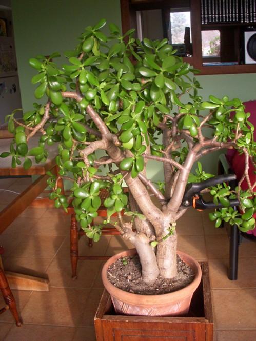 Gardenatoz Prune Jade In Crab Out Garden A To Z