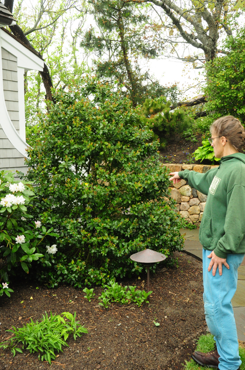 Hard Cuts For Overgrown Holly
