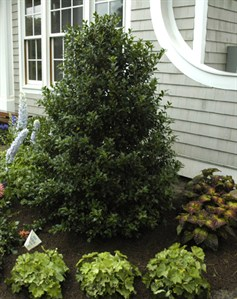 Gardenatoz Hard Cuts For Overgrown Holly Garden A To Z